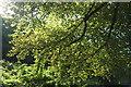 SX8060 : Beech, Kingsbridge Hill, Totnes by Derek Harper