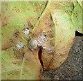 TG2806 : Neuroterus numismalis gall on oak by Evelyn Simak