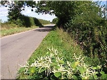 TM3795 : Japanese knotweed growing in a ditch beside Wash Lane by Evelyn Simak