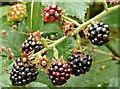 J4582 : Blackberries, Helen's Bay - September 2017(2) by Albert Bridge