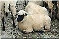 SN4860 : Llanwenog sheep by Richard Hoare