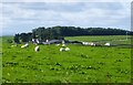 NY9682 : Sheep in pasture at Hawick Farm by Russel Wills