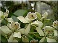 ST5675 : Humata heterophylla by Neil Owen