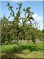 SP0933 : Apple tree at Snowshill Manor by Philip Halling