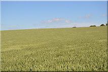 TL5334 : Extensive wheat by N Chadwick