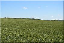 TL5334 : Extensive wheat field by N Chadwick