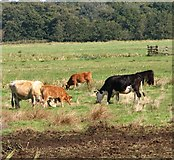 TG3504 : Cows and their calves grazing in the marshes by Evelyn Simak