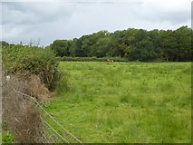SS5401 : Cattle grazing beside Medland Brook by David Smith