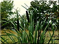 H4872 : Bulrushes, Arvalee by Kenneth  Allen