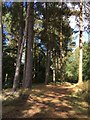 SK6263 : Conifer trees in Center Parcs by Graham Hogg