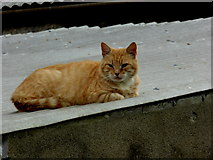 H4174 : Cat on a (hot) tin roof, Mullagharn (Young) by Kenneth  Allen