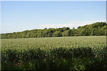 TL5334 : Farmland and Waterlane Plantation by N Chadwick