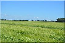 TL5335 : Barley by N Chadwick