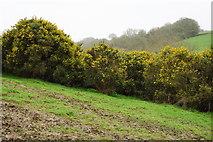SX7796 : Gorse in a Field by Tony Atkin