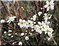 SX7797 : Blackthorn Flowers by Tony Atkin