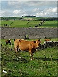 SK2057 : A Derbyshire Cow by Neil Theasby