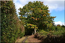 SU9363 : Oak tree with first autumnal leaves by David Martin