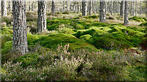 NH5753 : Transition in Monadh Mòr bog forest by Julian Paren