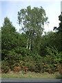 TF6822 : Woodland beside Lynn Road, Roydon Common by JThomas