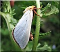 TQ7818 : A male ghost moth, Churchland Lane, Sedlescombe by Patrick Roper