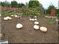 TQ4551 : Pumpkins in Walled Gardens - Chartwell by Paul Gillett