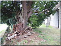 TR0054 : Ancient yew in St Lawrence Churchyard, Leaveland by Marathon