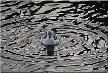 SC2484 : A Black Guillemot in Peel Harbour by James T M Towill