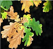 TG3204 : Oak leaves changing colour by Evelyn Simak