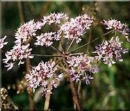 TG3204 : Hogweed (Heracleum sphondylium) - flowers by Evelyn Simak