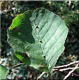 TG3204 : Leaf galls on alder (Alnus glutinosa) by Evelyn Simak