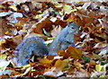 TQ2980 : Grey squirrel in St. James' Park, London : Week 42