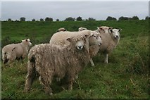 TF3839 : Who's escaped the shearers? Lincolnshire Longwool and friends on the sea bank south of North Sea Camp by Chris