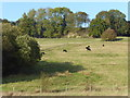 TQ9245 : Cattle below the Greensand Ridge by Marathon