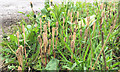 SP2765 : Fertile stems of (probably) Common Horsetail, Lock Lane, The Cape, Warwick by Robin Stott