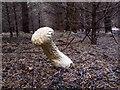 NT0075 : Pestle Puffball (Lycoperdon excipuliforme) : Week 43 winner