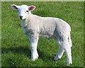 SD8240 : A lamb in a field near Barley by Steve Daniels