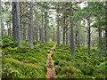 NJ0315 : Footpath through coniferous trees by Trevor Littlewood
