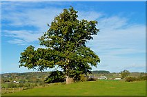 SO4430 : Mature Oak at Kilpeck by Philip Pankhurst