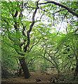 TL7906 : Sunlight in Trees, Woodham Walter Common by Roger Jones