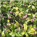 SX8051 : Daphne flowering in a front garden, Blackawton by Robin Stott