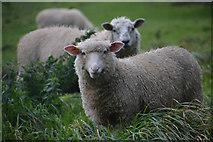 SY1988 : East Devon : Grassy Field & Sheep by Lewis Clarke