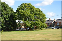 SU8595 : Oak, Downley Common by N Chadwick