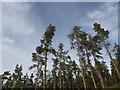 NJ6404 : Pine trees on the slope of Ordie Caber by Stanley Howe
