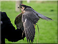 SE6083 : Lanner Falcon, National Centre for Birds of Prey by David Dixon