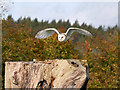 SE6083 : Barn Owl in Flight, NCBP by David Dixon
