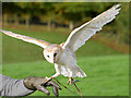 SE6083 : Barn Owl at the National Centre for Birds of Prey by David Dixon