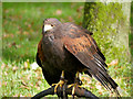 SE6083 : Harris Hawk on a Bow Perch at the National Centre for Birds of Prey by David Dixon
