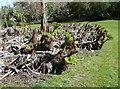 NX0942 : Gunneras sprouting, Logan Botanic Garden by Humphrey Bolton