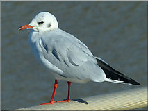 ST3188 : Black-headed gull by Robin Drayton
