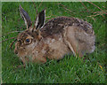 SD9188 : Hare, Hawes End by Ian Taylor